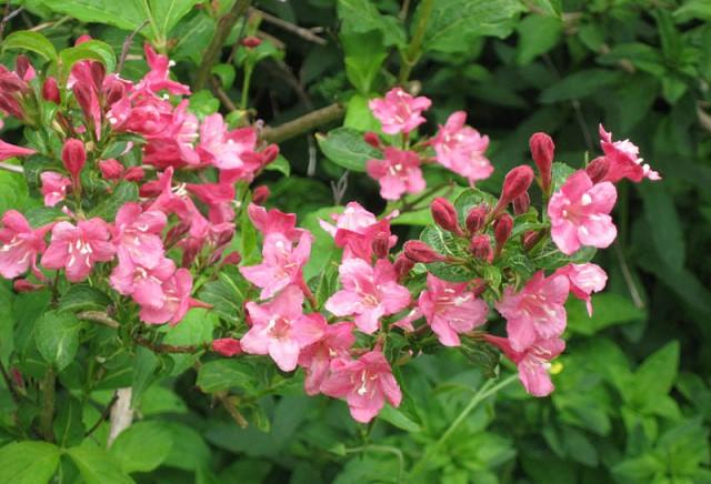 rosablommor